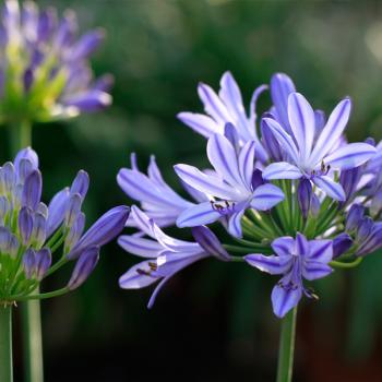 agapanthus-bluety