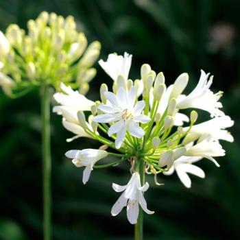agapanthus-whitey